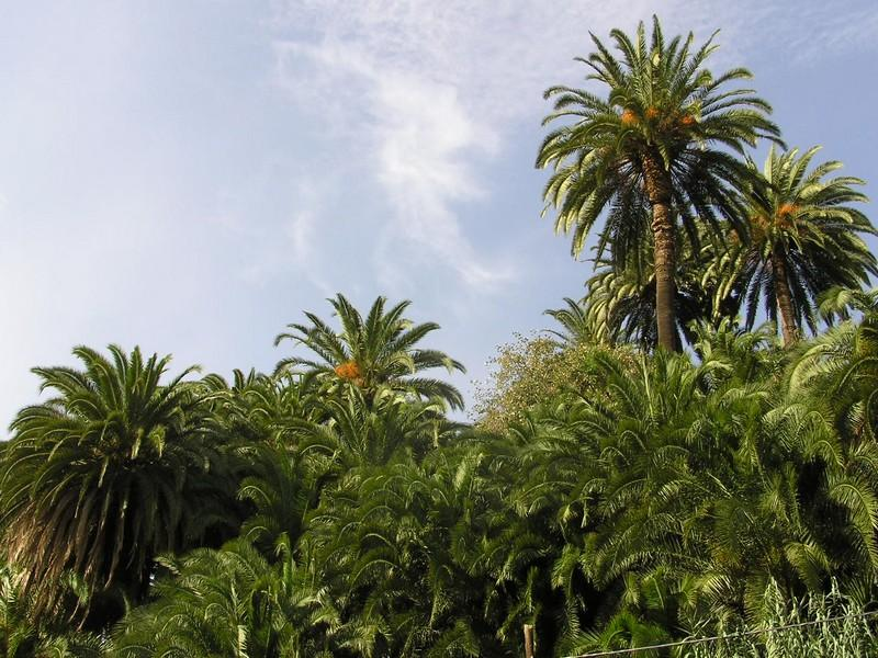 Canary Islands palm trees