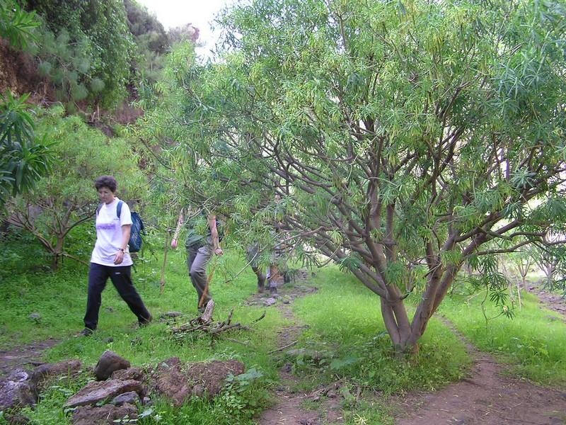 Hikers and spurge plants