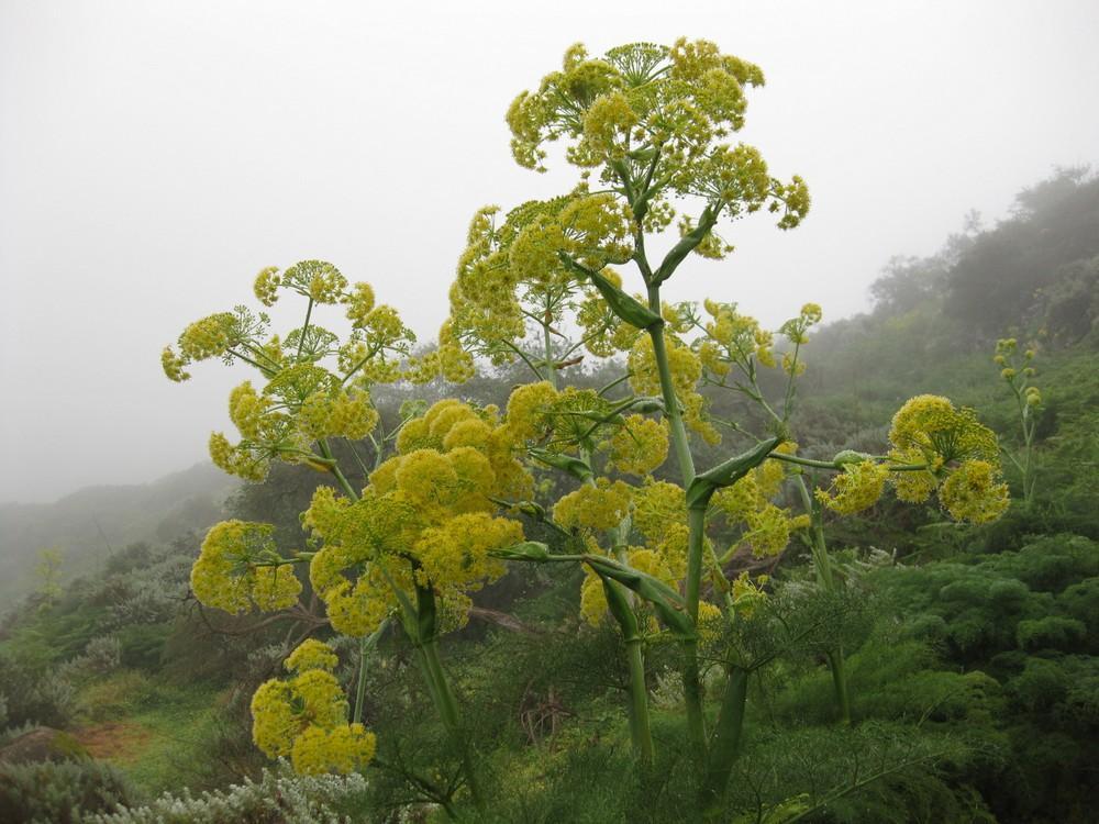Flor de la cañaleja o cañaheja (Ferula linkii)