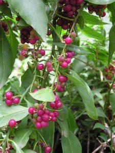 Hediondo (Bosea yervamora).