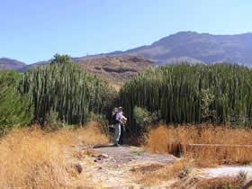 Canary Islands cactus spurge plants