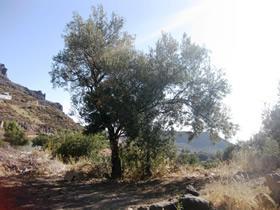 Los olivos de Temisas