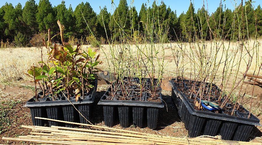 GLOBAL, de la mano de FORESTA, colabora en la reforestación de Gran Canaria